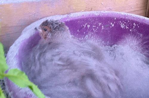 Vaktel i sandbad, viktig inredning för en bur.